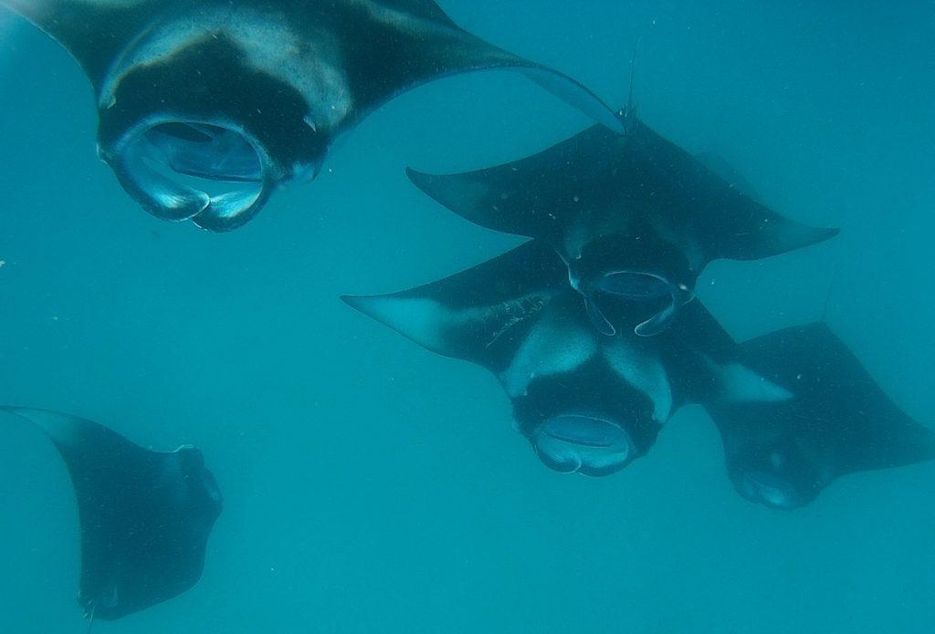 diving-in-maldives-hanifaru-bay