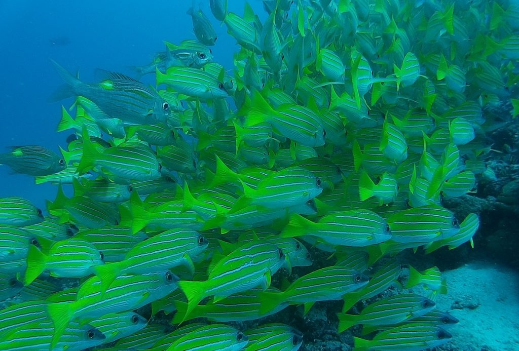 diving-in-maldives-school-of-fishes