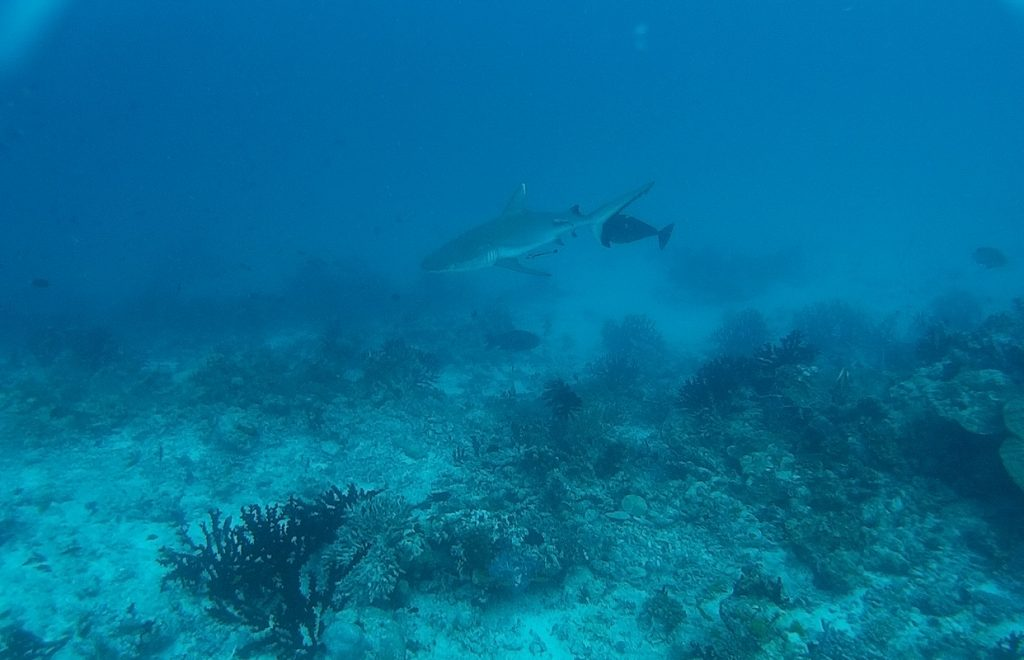 diving-in-maldives-shark