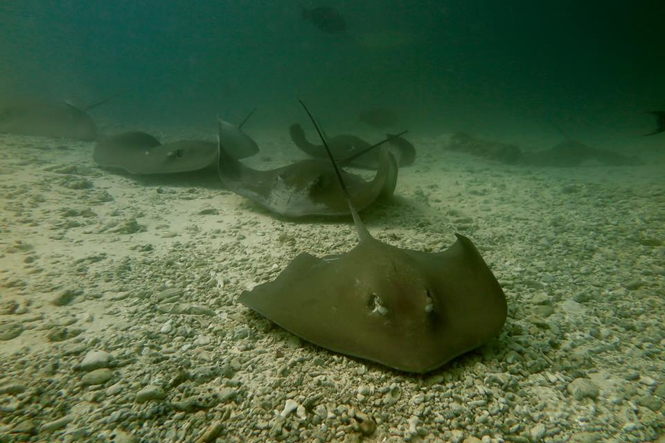 diving-in-maldives-sting-rays