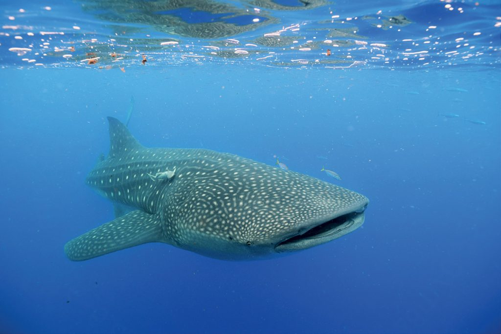 diving-in-maldives-whale-shark