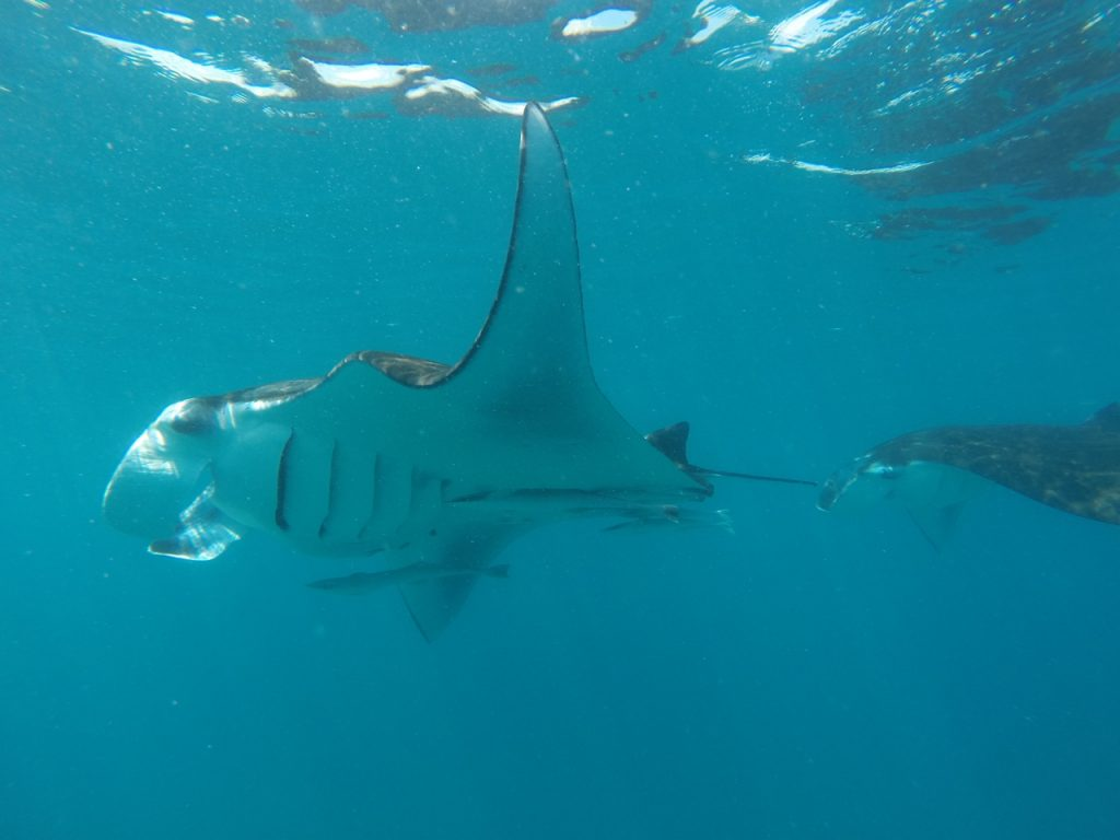 guide-to-budget-maldives-manta