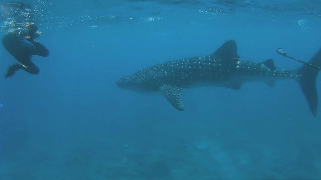guide-to-budget-maldives-whaleshark