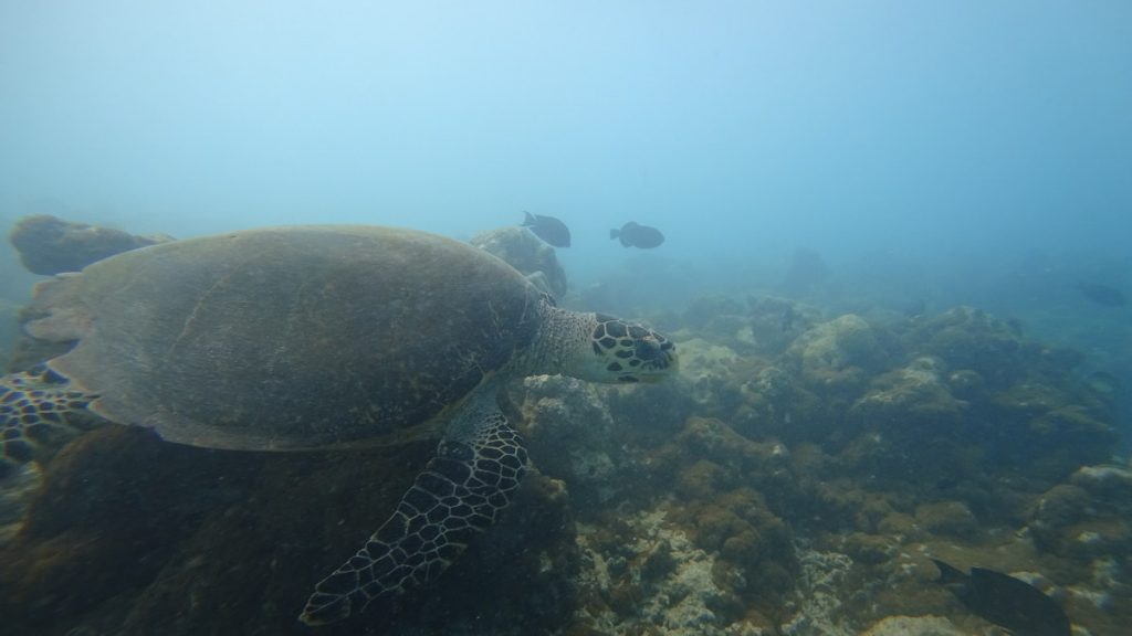 how to choose local island turtle