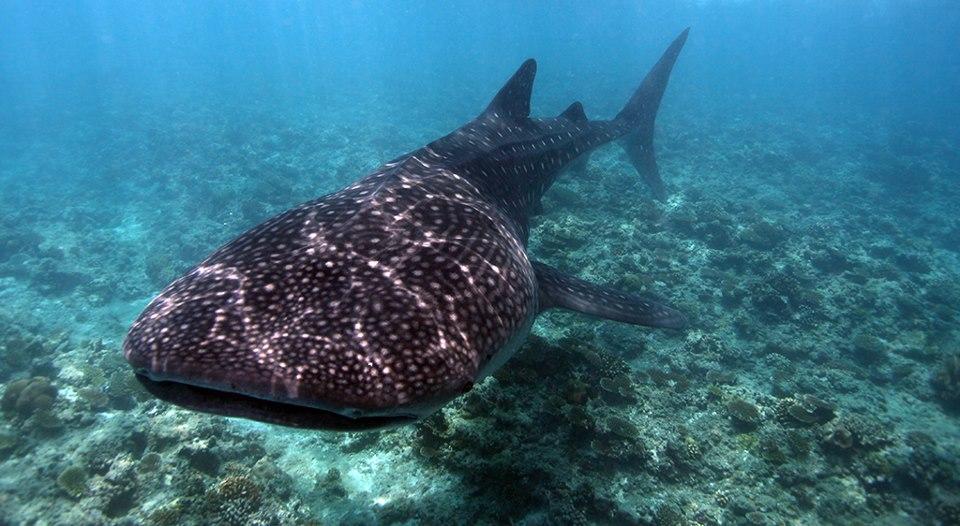 omadhoo-whale-shark