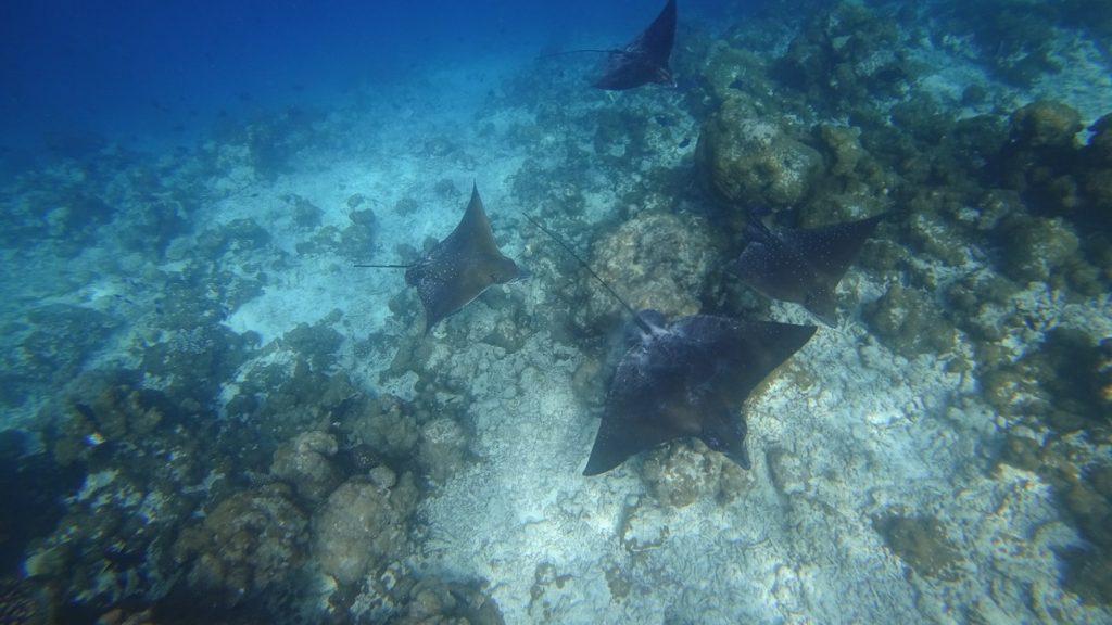 ukulhas-eagle-rays