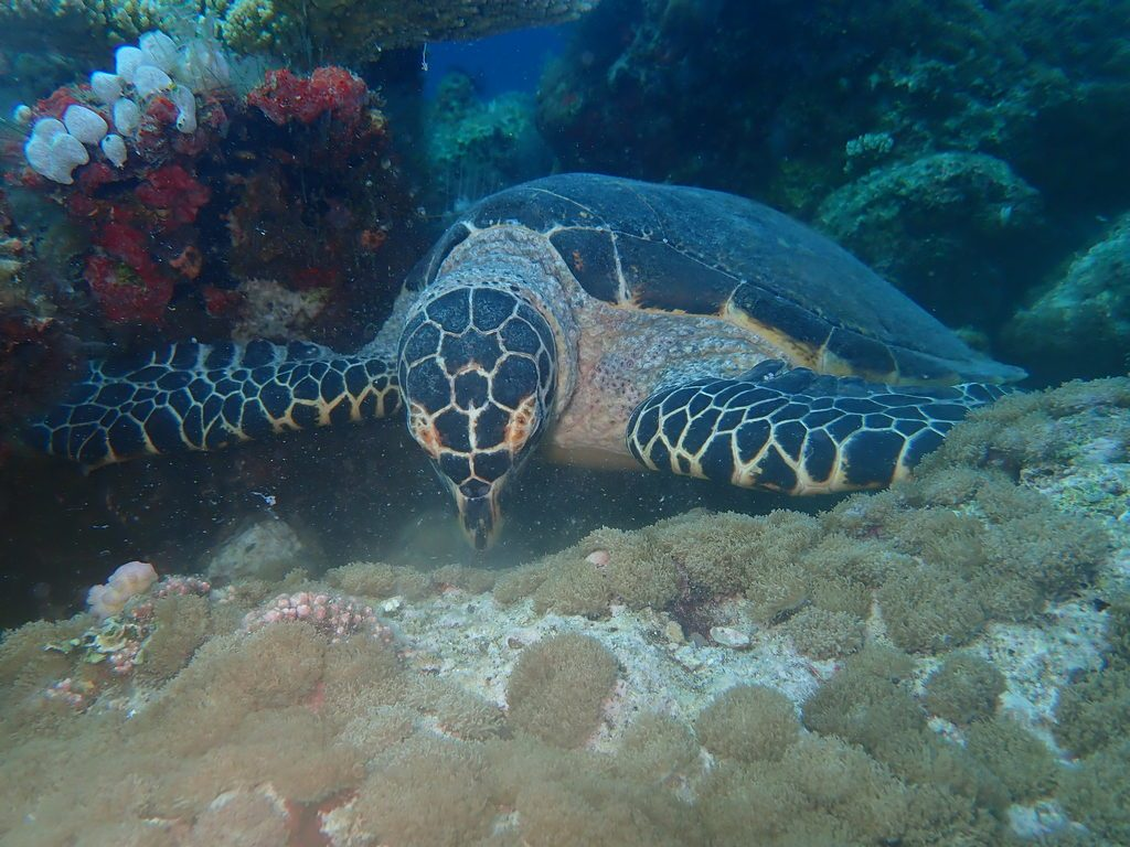 dhangethi diving turtle
