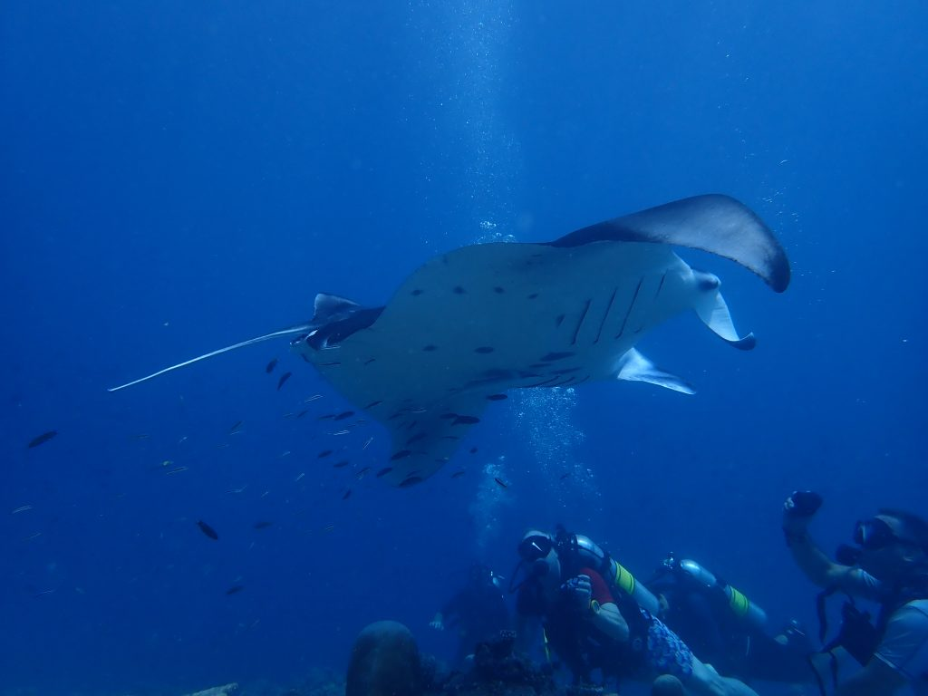 dhangethi diving mantas