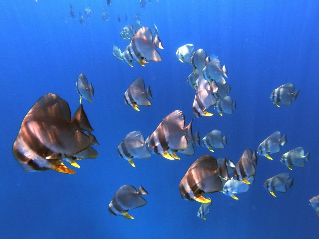 rasdhoo batfish