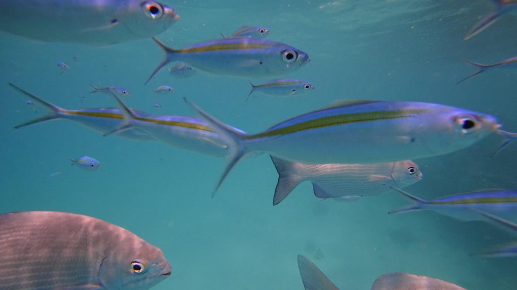 dhangethi snorkeling