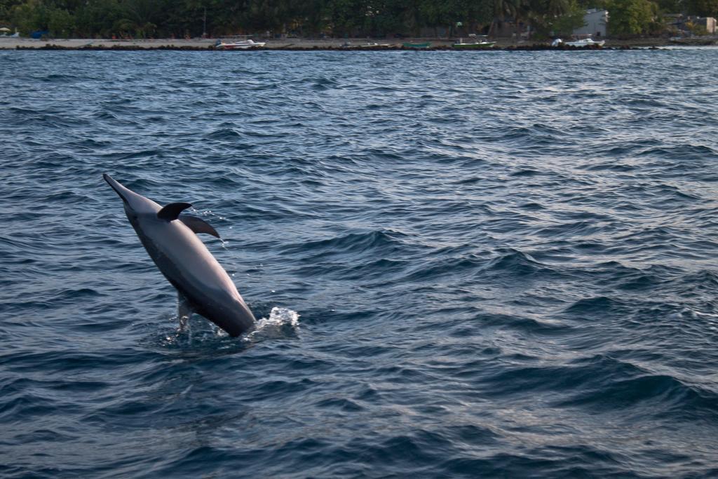 dharavandhoo dolphins