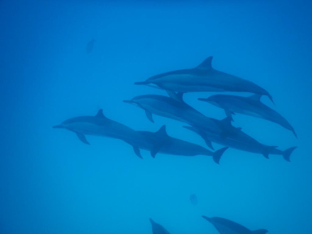 gulhi dolphins